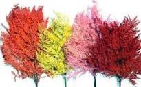 Helecho Color  (samambaia)