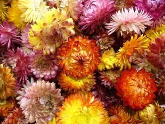 Flor Siempre Viva (15 Grs)